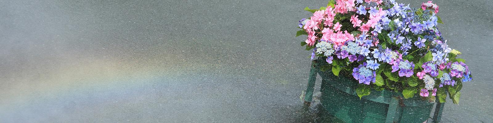 雨 紫陽花 虹