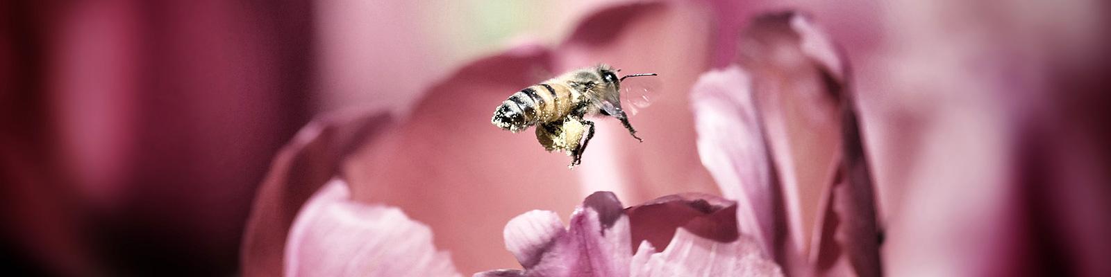 チューリップ 蜂