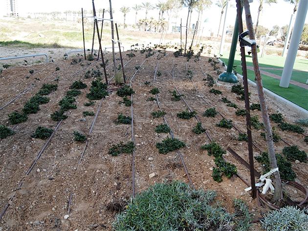 点滴灌漑ネタフィムで効率的に水供給