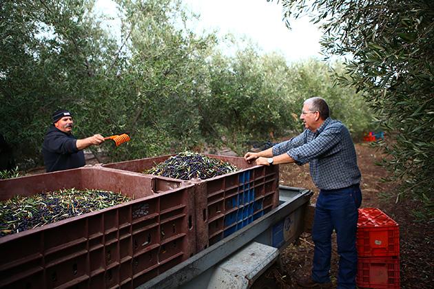 オリーブの実の収穫作業