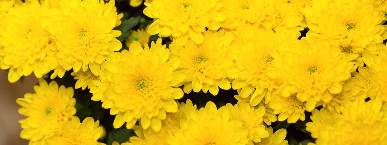 立冬ーーお湯の中で花開く菊 [二十四節気のあかり]