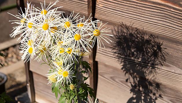 古典菊 © inoumasa - Fotolia.com