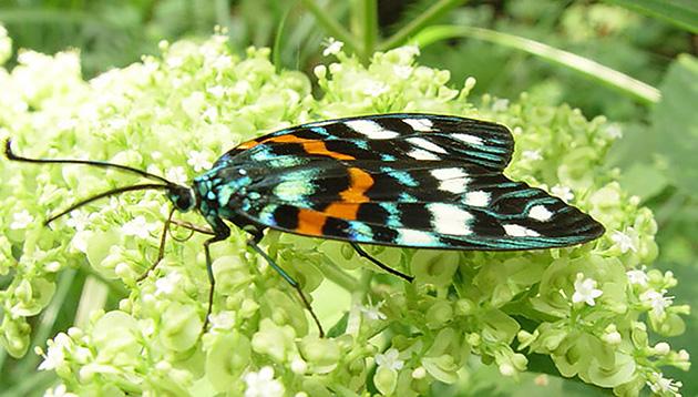 ガは日本に約6000種類以上います。この写真はサツマニシキと呼ばれるガの一種。このようにチョウと見間違えるような美しい色や模様をしたガもいます。 撮影:福田輝彦