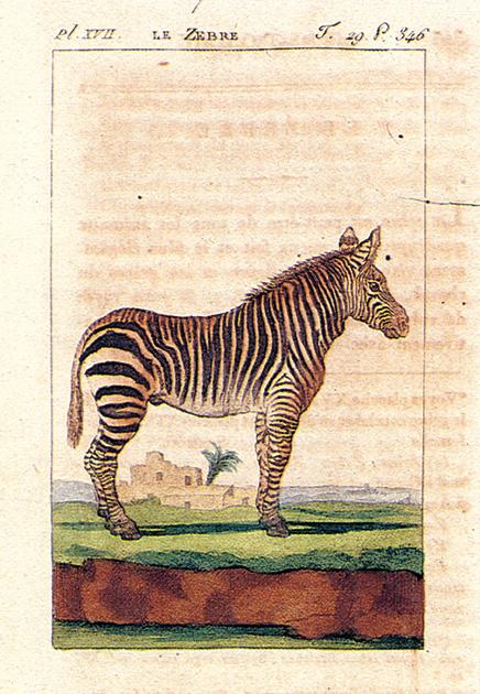 図15──ビュフォンが、縞が美しいとしたシマウマの一葉、『一般と個別の博物誌』1798-1808。(『ビュフォンの博物誌』ジョルジュ=ルイ・ルクレール・ビュフォン、C・S・ソンニーニ(原編集)、荒俣宏(監修・解説)、ベカエール直美(訳)、工作舎、1991)