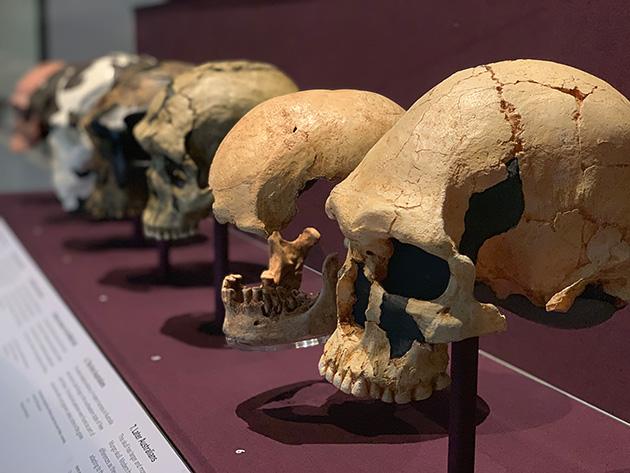 ロンドンの自然史博物館の人類の骨格模型